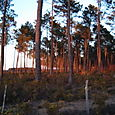Ares_trees_at_sunset_far