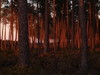 Ares_trees_at_sunset